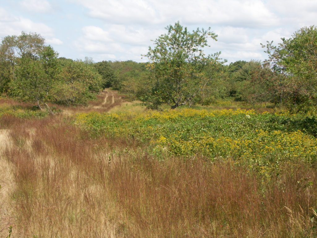 In the mid-20th century, an extensive area in the vicinity of Pine Hill was maintained as grasslands by periodic mowing.  The cessation of mowing in the late 1900's resulted in a transition to dense shrub/thicket.  Efforts are underway to restore a component of this area to grassland communities.