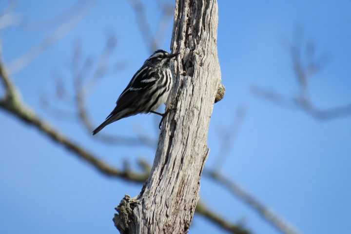 Black and White Warbler